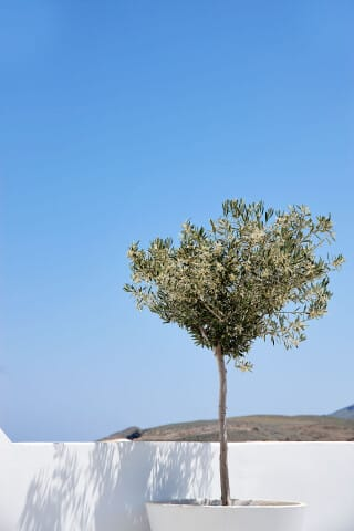 VIP studios porto klaras olive tree and blue sky